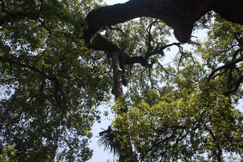 Chiêm ngưỡng cây Dã Hương 18 người ôm không xuể - 7