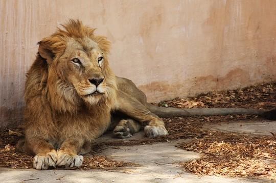 Trung Quốc: Sư tử giết người rồi sổng chuồng - 1