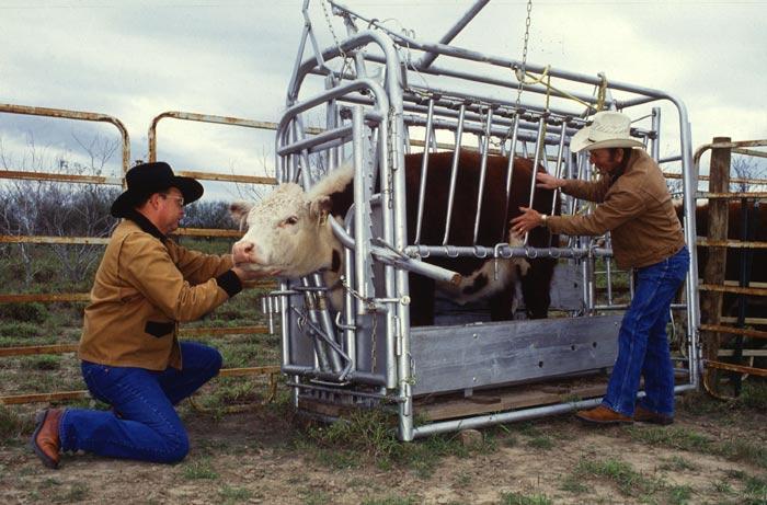 Bò được giết thịt như thế nào ở Úc? - 2