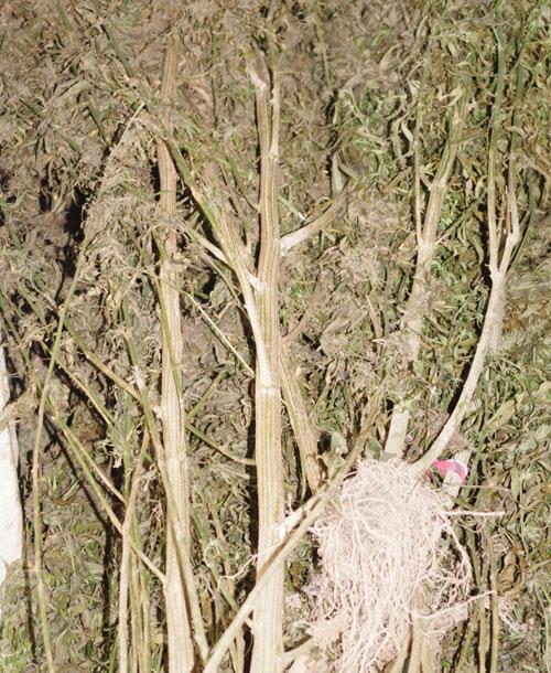 Lại phát hiện hộ dân trồng cây cần sa ở U Minh Hạ - 1