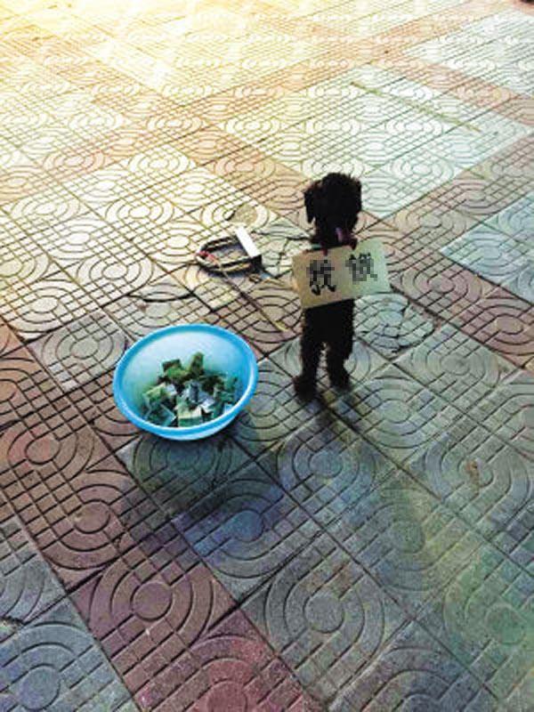 TQ: Bắt chó đeo biển, đứng bằng hai chân ăn xin - 1