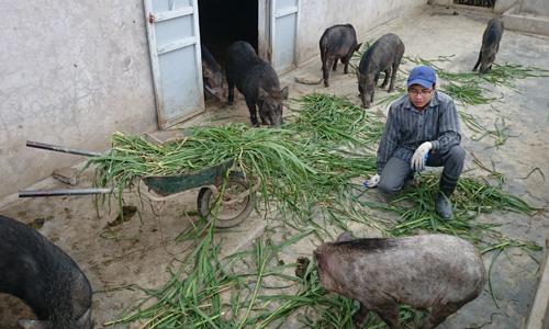 9x học xong đại học về quê nuôi lợn rừng kiếm 1,2 tỷ đồng - 1