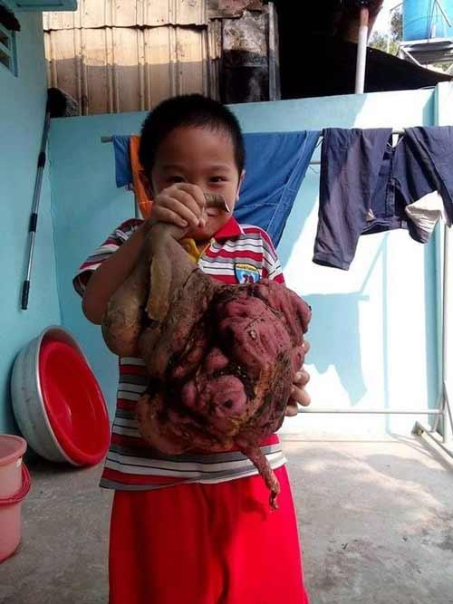 Phát hiện củ khoai lang hình thù lạ, nặng 6 kg - 2