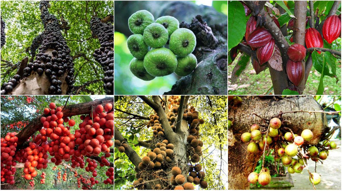 """Những loại cây thích """"chơi trội"""" đẻ ra quả từ... thân - 1"""