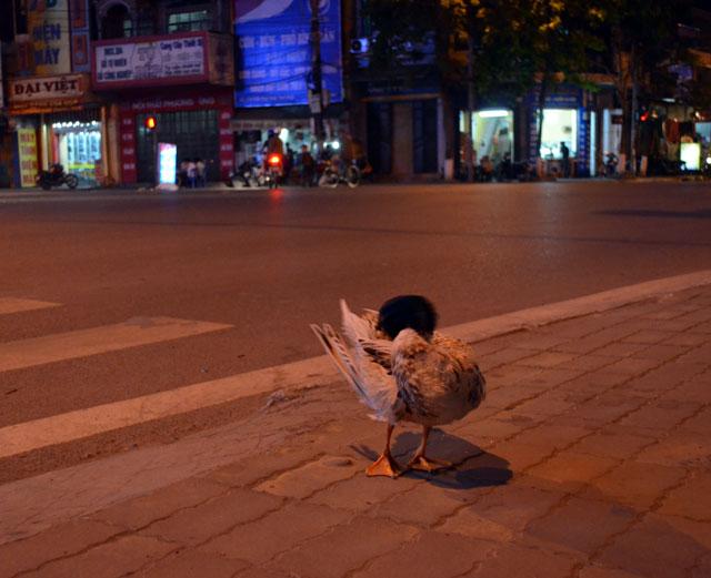 Video: Vịt tung tăng dạo phố ở Thái Bình - 3