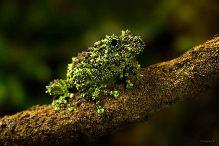 Sửng sốt trước loài cóc, ếch, nhái dị nhất hành tinh - 6