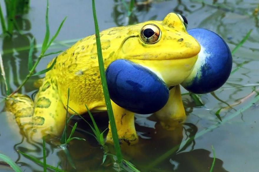 Sửng sốt trước loài cóc, ếch, nhái dị nhất hành tinh - 9