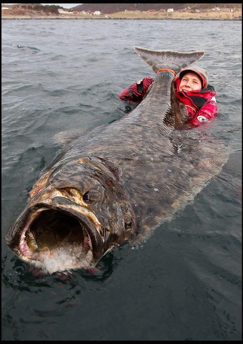 Cá bơn khổng lồ dài gấp rưỡi người trưởng thành - 1