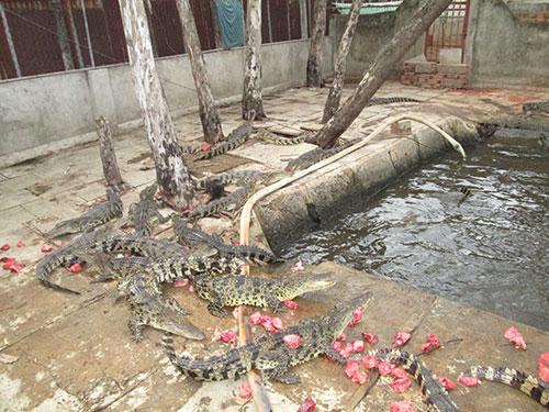 Tiếc vì cá sấu phải bán thô - 1