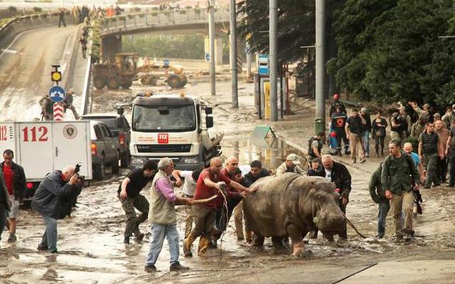"""Gruzia: Sau lụt, thú dữ xổng chuồng """"dạo chơi"""" khắp phố - 5"""