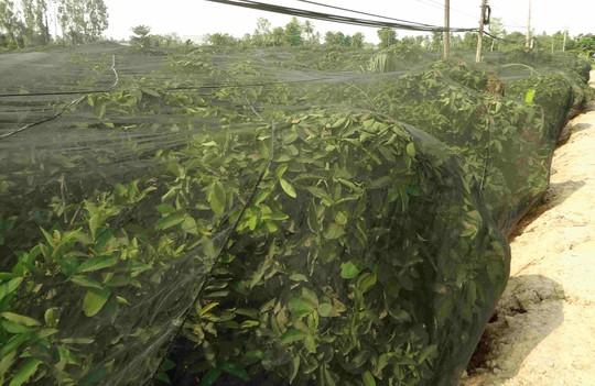 Lo Trung Quốc ngừng mua nhưng vẫn phải trồng 12