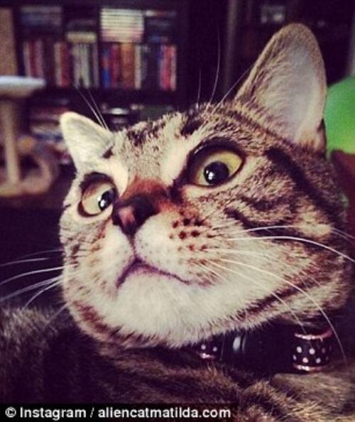 """Cận cảnh chú mèo """"ngoài hành tinh"""" gây sốt mạng xã hội - 3"""