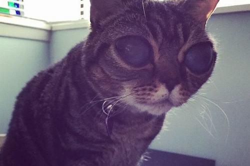 """Cận cảnh chú mèo """"ngoài hành tinh"""" gây sốt mạng xã hội - 1"""