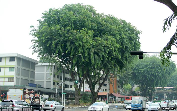 """5 loài cây tạo nên """"đảo quốc rừng xanh"""" Singapore - 4"""