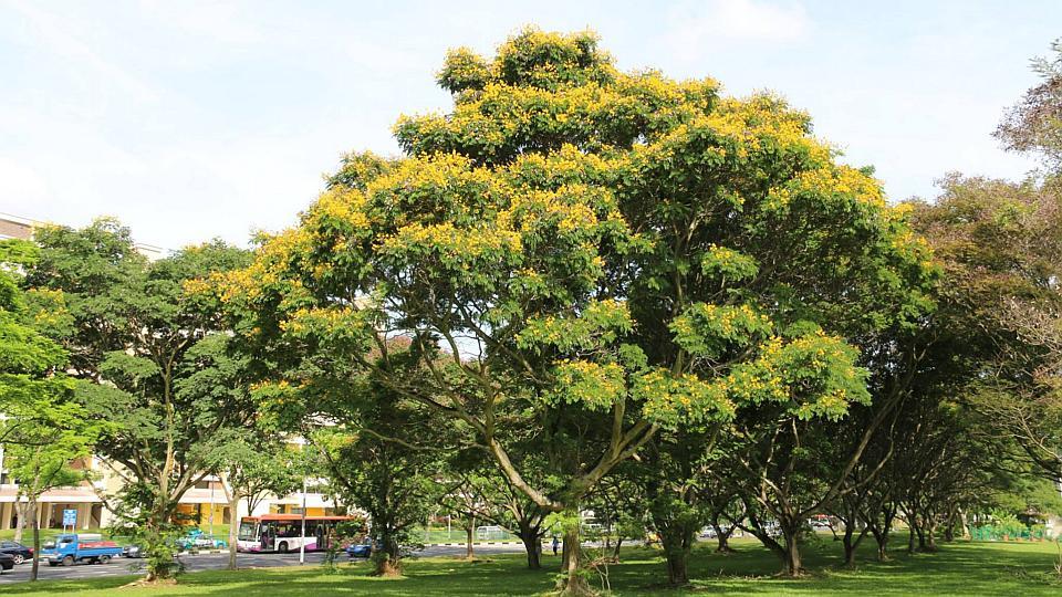 """5 loài cây tạo nên """"đảo quốc rừng xanh"""" Singapore - 6"""