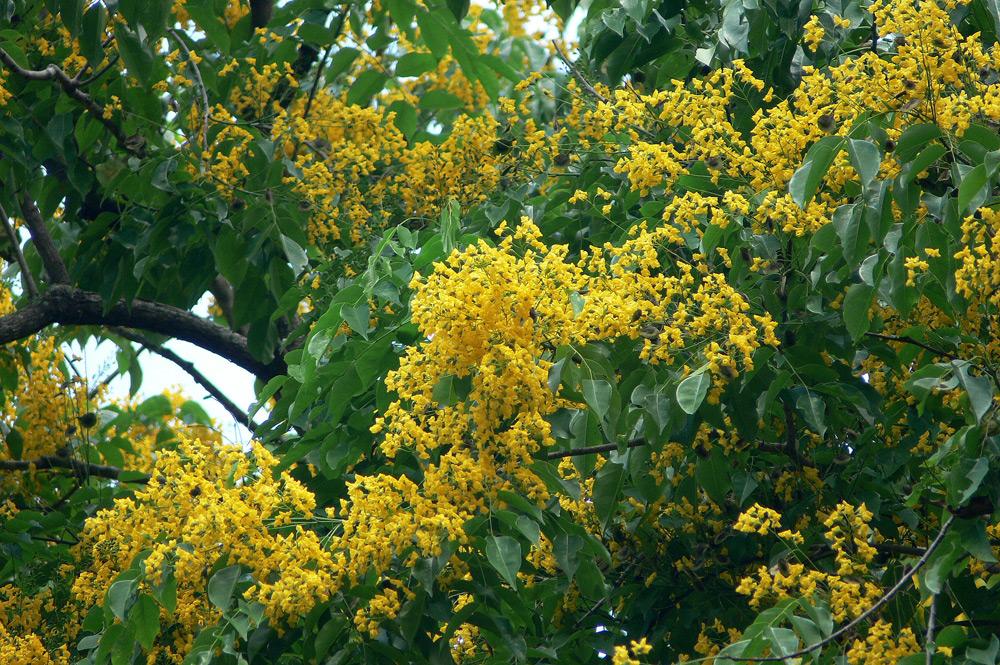 """5 loài cây tạo nên """"đảo quốc rừng xanh"""" Singapore - 5"""
