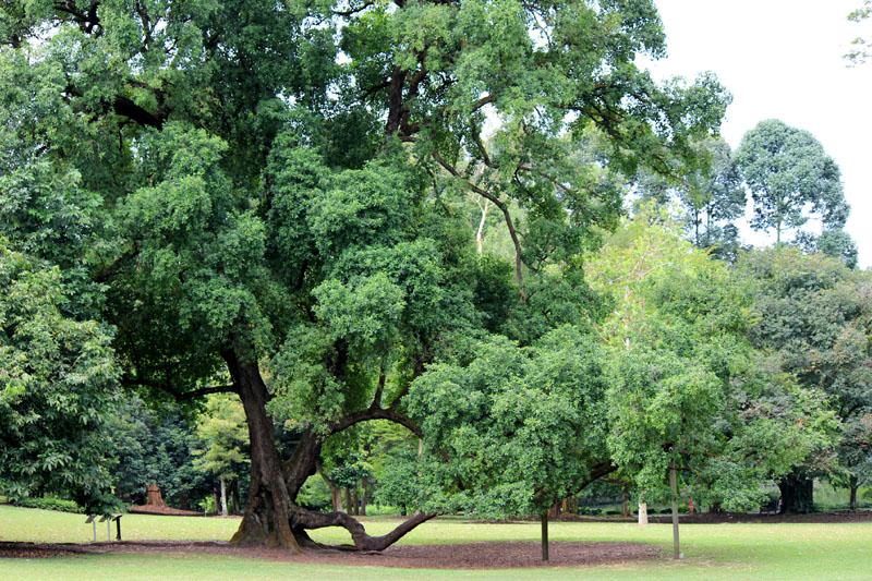 """5 loài cây tạo nên """"đảo quốc rừng xanh"""" Singapore - 10"""