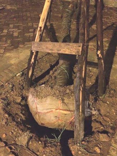 Cây mới trồng đổ lộ lưới bọc sau dông lốc: Chuyên gia nói gì? - 2