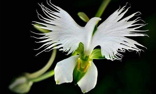 Hoa Pecteilis radiate khiến nhiều người liên tưởng tới những chú chim.