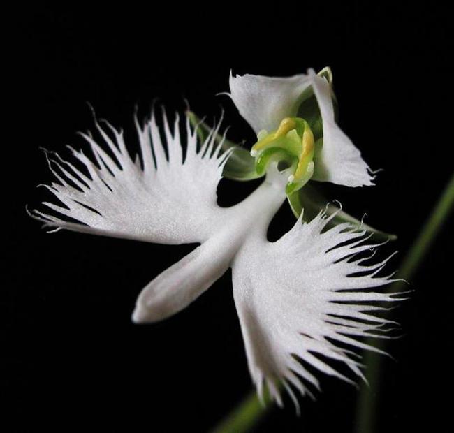 Cánh hoa tua rua trắng muốt giống như cánh chim.