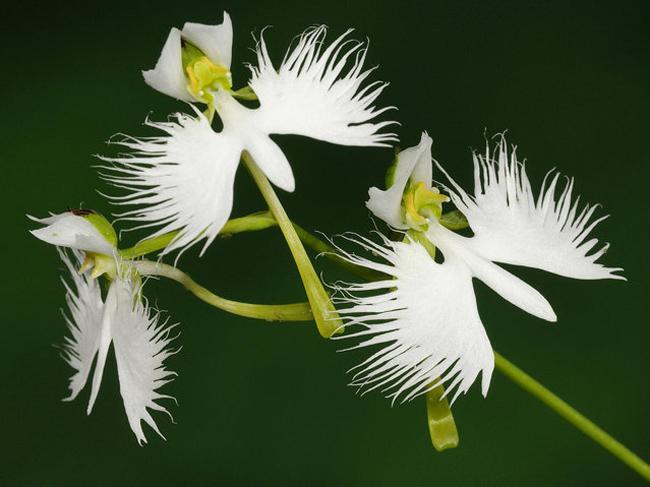 Kết hợp với phần thân và đầu hoa, Pecteilis radiate hiện lên như phiên bản thực vật của một chú chim đang sải cánh