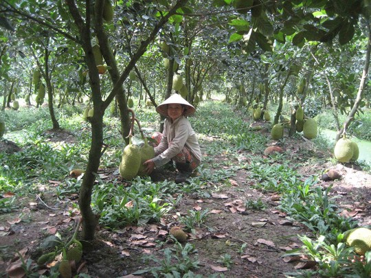 Mít Thái đầy vườn, giá rớt thê thảm - 1