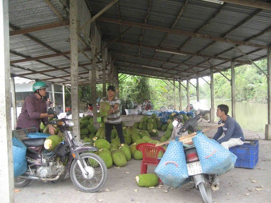 Mít Thái đầy vườn, giá rớt thê thảm - 2