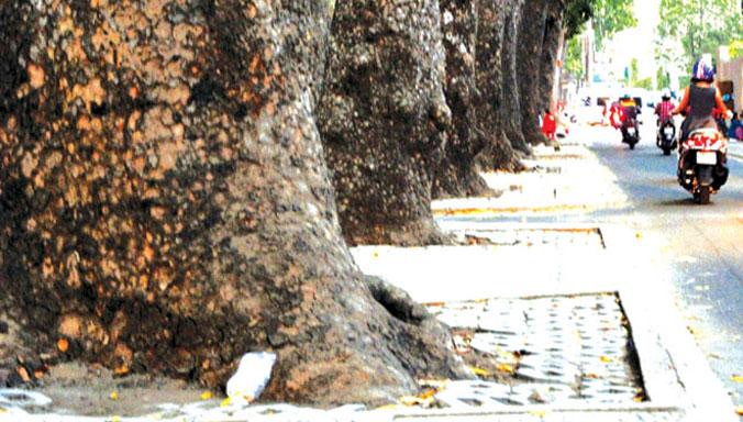 TPHCM: Cắt điện nước 10 ngày để bứng 2 cây cổ thụ - 1