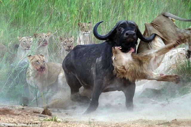 Trâu rừng 1 tấn húc thủng ngực sư tử hung hãn - 1