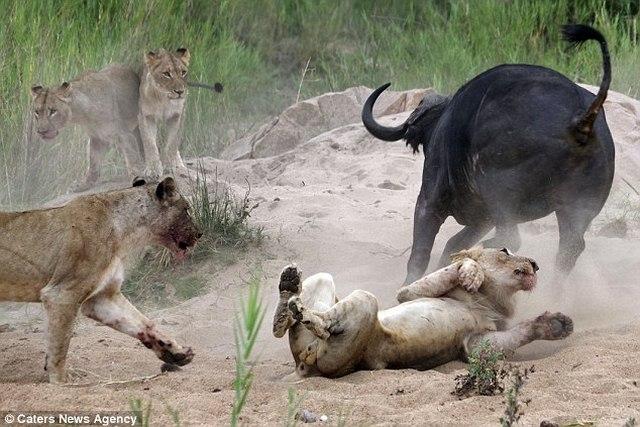 Trâu rừng 1 tấn húc thủng ngực sư tử hung hãn - 2