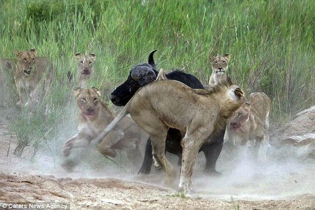 Trâu rừng 1 tấn húc thủng ngực sư tử hung hãn - 3