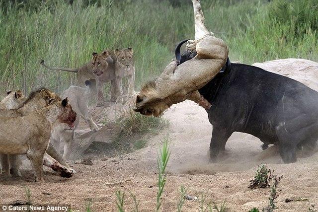 Trâu rừng 1 tấn húc thủng ngực sư tử hung hãn - 4
