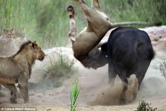 Trâu rừng 1 tấn húc thủng ngực sư tử hung hãn - 5