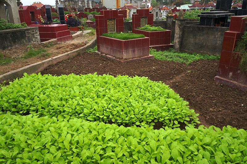Hãi hùng: Rau xanh mơn mởn trên những nấm mồ giữa Thủ đô - 8