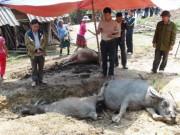 Tin tức trong ngày - Nhà có sáu con trâu, sét đánh chết năm con