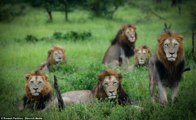 """""""Băng nhóm"""" sư tử cai quản 31.000m2 đất ở Nam Phi - 1"""