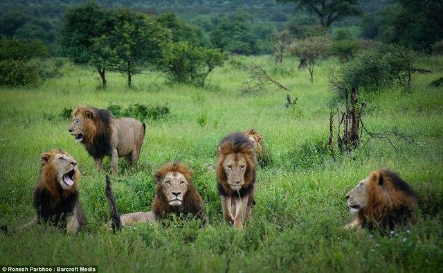 """""""Băng nhóm"""" sư tử cai quản 31.000m2 đất ở Nam Phi - 2"""