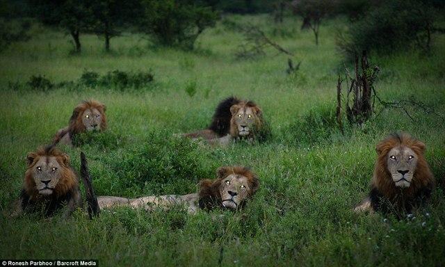 """""""Băng nhóm"""" sư tử cai quản 31.000m2 đất ở Nam Phi - 3"""