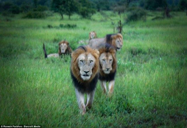 """""""Băng nhóm"""" sư tử cai quản 31.000m2 đất ở Nam Phi - 4"""