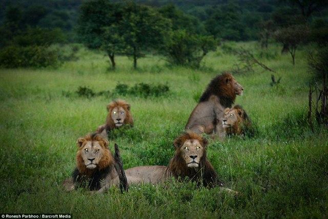 """""""Băng nhóm"""" sư tử cai quản 31.000m2 đất ở Nam Phi - 5"""