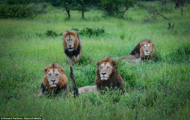 """""""Băng nhóm"""" sư tử cai quản 31.000m2 đất ở Nam Phi - 6"""