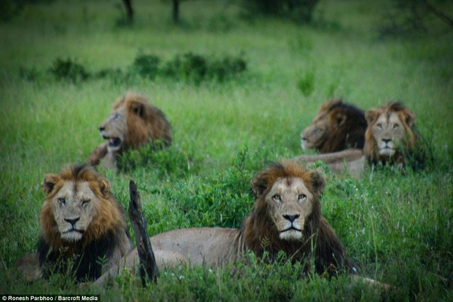 """""""Băng nhóm"""" sư tử cai quản 31.000m2 đất ở Nam Phi - 7"""