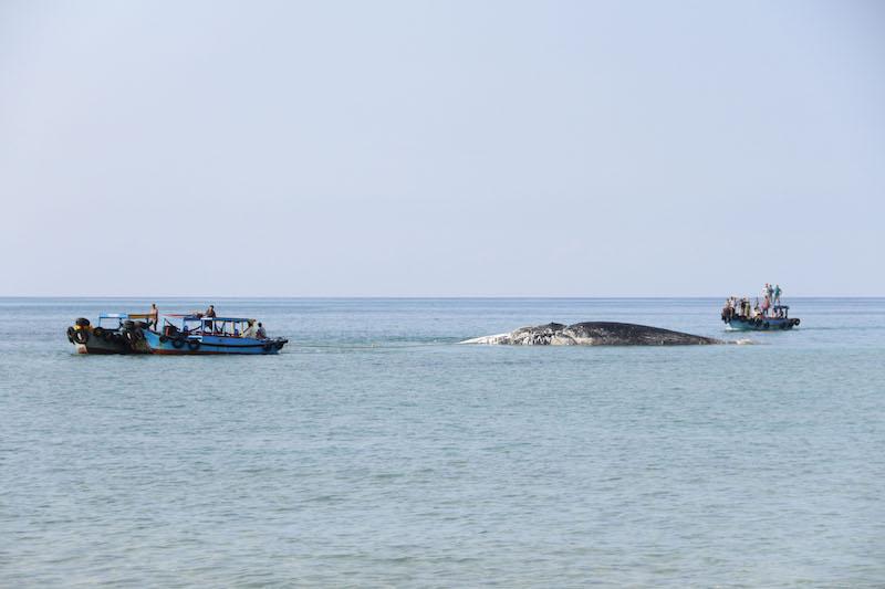 Cá Voi nặng 10 tấn mắc cạn ở biển Phú Quý - 2