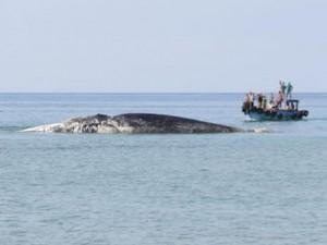 """Tin tức trong ngày - Cá Ông 10 tấn """"lụy"""" trên vùng biển Phú Quý"""