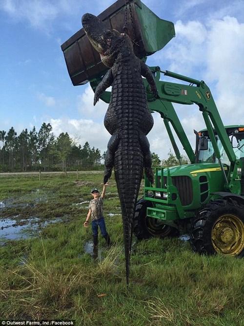 Bắt cá sấu nặng gần 300 kg ngay trong ao nhà - 3