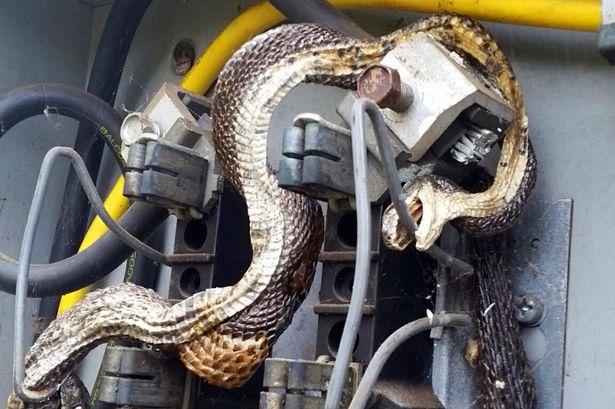 Hết hồn khi thấy rắn khổng lồ trong tủ điện - 1