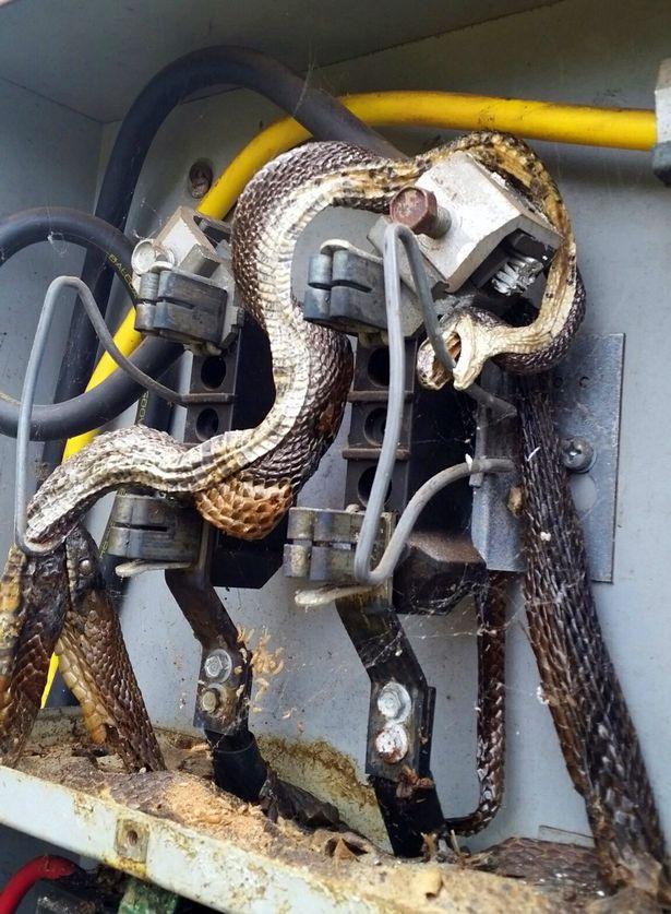 Hết hồn khi thấy rắn khổng lồ trong tủ điện - 2