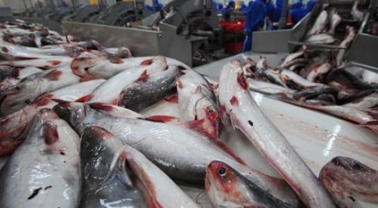 """Trung Quốc ồ ạt mua cá tra, coi chừng """"bẫy giá ảo"""" - 1"""