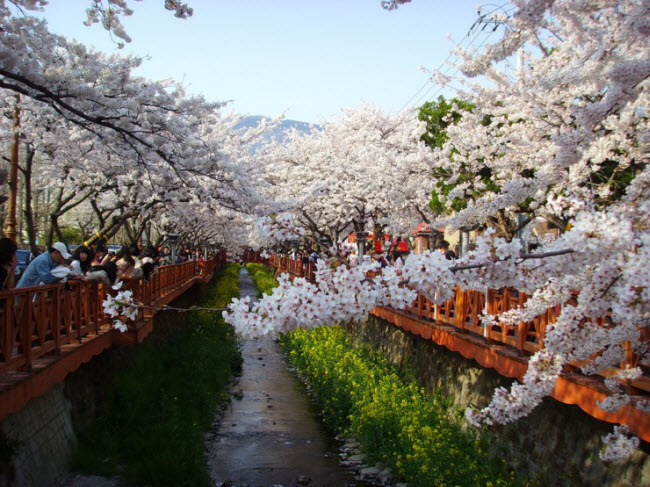 Lễ hội hoa anh đào lớn nhất Hàn Quốc, được tổ chức lần đầu tiên vào năm 1952, hút hàng nghìn lượt khắp tham quan mỗi năm.