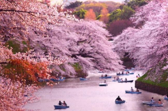 Công viên Chidorigafuchi ở thủ đô Tokyo của Nhật Bản là một trong những địa điểm ngắm hoa anh đào lý tưởng nhất thế giới.